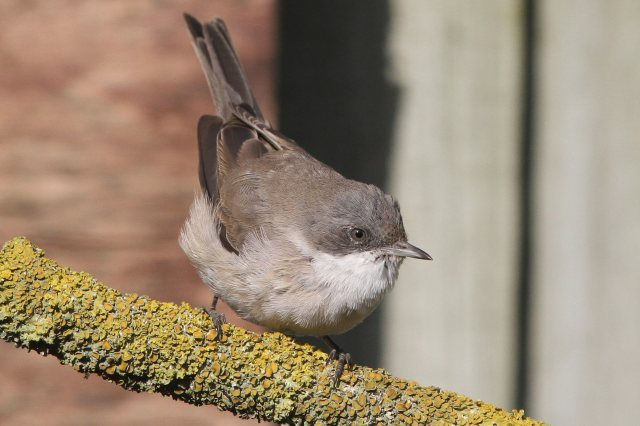 'Central Asian' Lesser Whitethroat, Kingsthorpe, Northampton, 11th March 2014 (Bob Bullock)