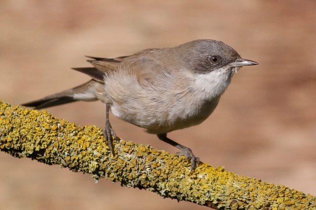 Central Asian Lesser Whitethroat, Northampton, 11th March 2014 (Dave Jackson)