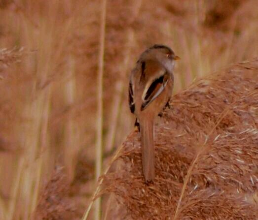 Female Bearded Tit, Stortons GP, 9th March 2014 (Stuart Mundy)