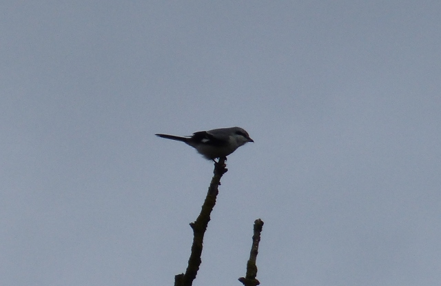 Great Grey Shrike, Lowick, 23rd February 2014 (Geof Douglas)