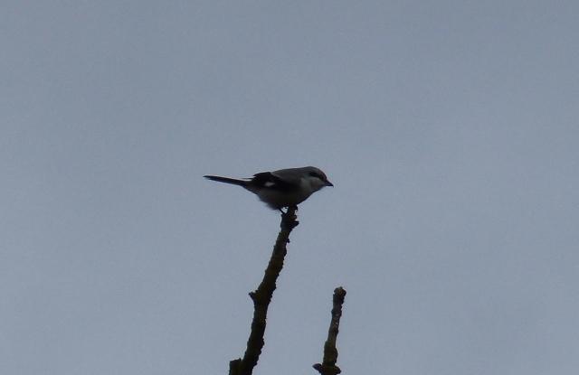 Great Grey Shrike, Lowick, 23rd February 2014 (Geof Douglas)