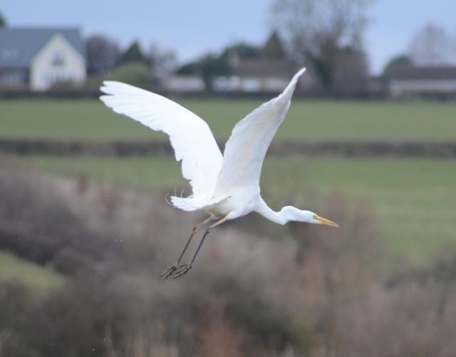 Great White Egret, Summer Leys LNR, 3rd March 2014 (Stuart Mundy)