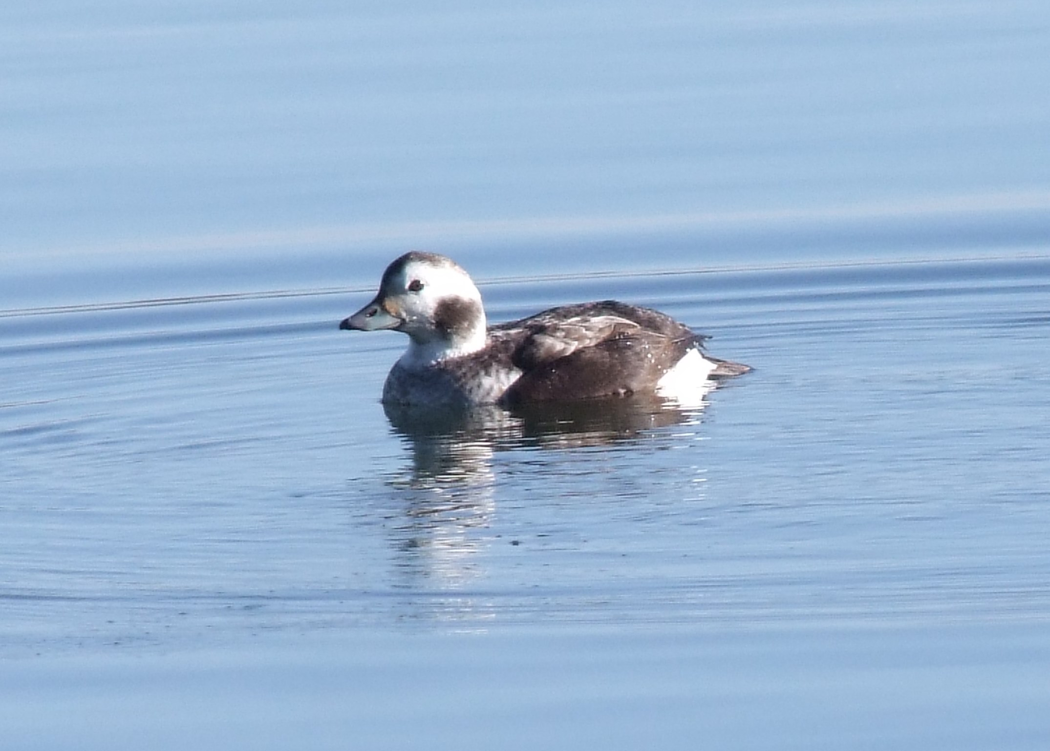 THE Long-tailed Duck. Photo by Doug Goddard. Linked to via the Northants Birds website.