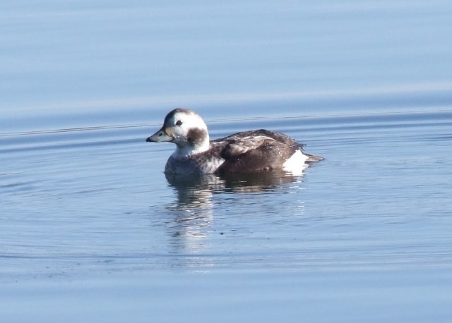 Long-tailed Duck, Earls Barton GP, 3rd March 2014 (Doug Goddard)