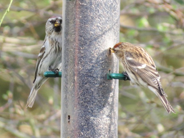 Mealy Redpoll, East Hunsbury, Northampton, 11th March 2014 (Martin Dove)