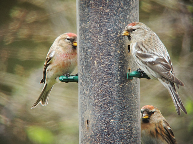 Mealy Redpoll, East Hunsbury, Northampton, 11th March 2014 (Mike Alibone)