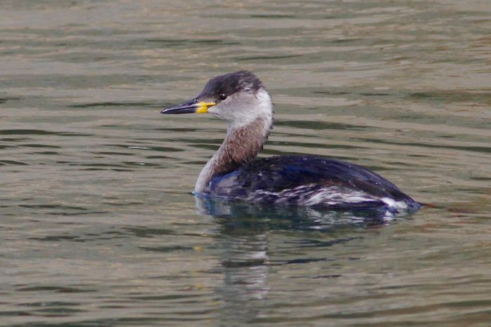 Red-necked Grebe, Pitsford Res, 21st March 2014 (Dave Jackson)