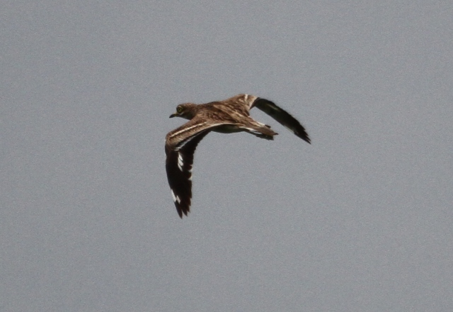 Stone-curlew, Harrington AF, 17th April 2014 (Alan Coles)