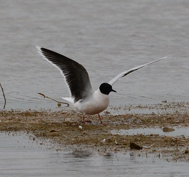 Adult Little Gull, Summer Leys LNR, 25th April 2014 (John Moon)