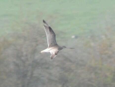 Bar-tailed Godwit, Summer Leys LNR, xx March 2014 (Stuart Mundy)