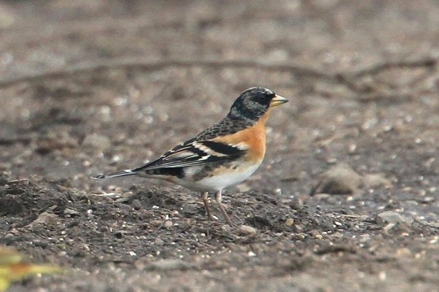Brambling, Harrington AF, 30th March 2014 (Bob Bullock)