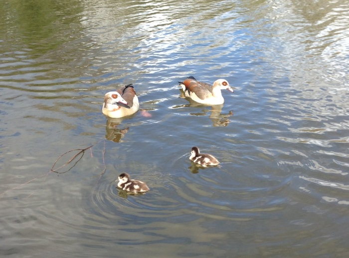 Egyptian Geese, site withheld, 23rd March 2014