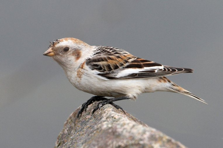 Snow Bunting, Daventry CP, 3rd April 2014 (Bob Bullock)