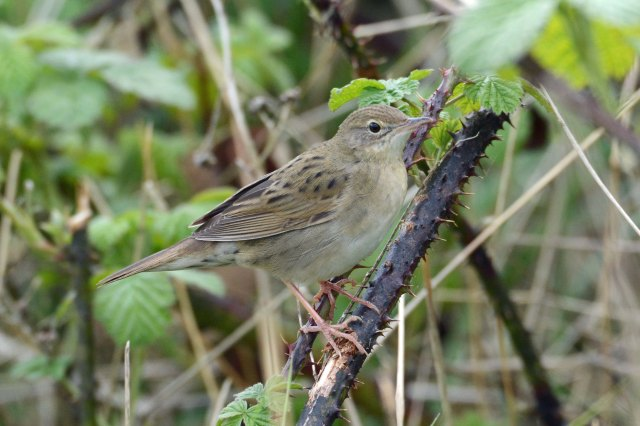 Grasshopper Warbler, Stortons GP, 21st April 2014 (John Moon)