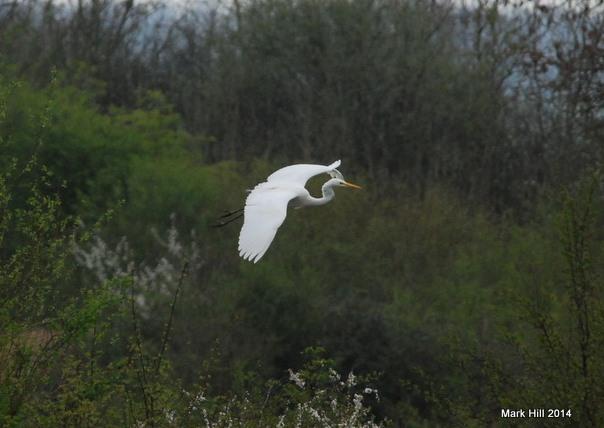 Great White Egret, Summer Leys LNR,  5th April 2014 (Mark Hill)