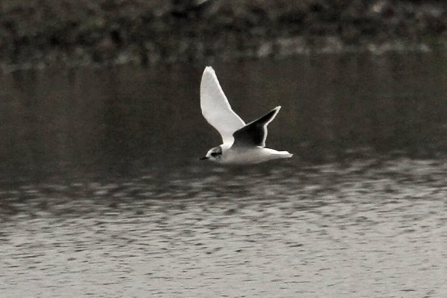 Little Gull, Summer Leys LNR, 1st April 2014 (Bob Bullock)