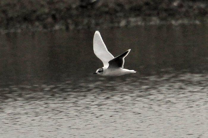 Little Gull, Summer Leys LNR, 1st April 2014 (Bob Bullock)