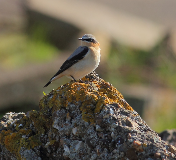 Male Northern Wheatear, Harrington AF, 16th April 2014 (Pete Gilbert)
