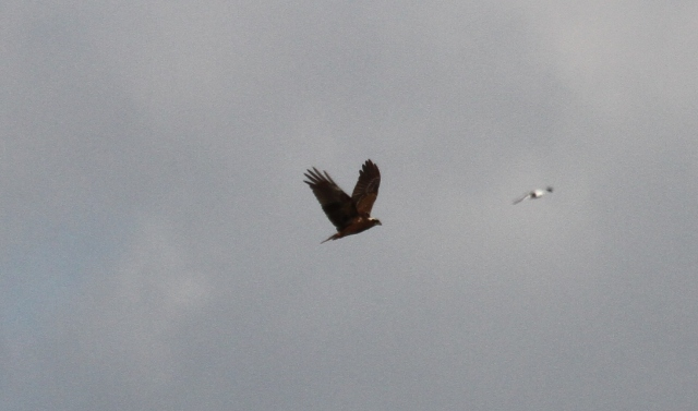 Marsh Harrier, Summer Leys LNR, 24th March 2014 (Alan Coles)