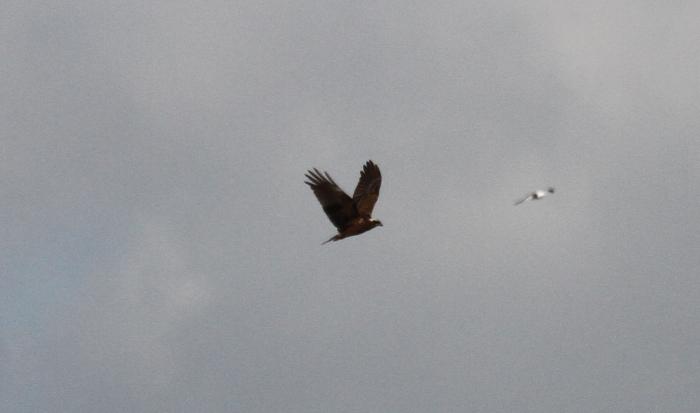 Marsh Harrier, Summer Leys LNR, 24th March 2014 (Alan Coles)