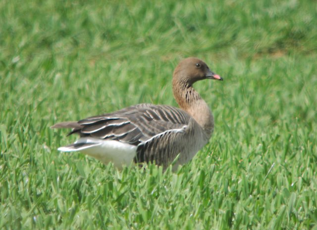 Pink-footed Goose, Thrapston GP, 13th April 2014 (Mike Alibone)