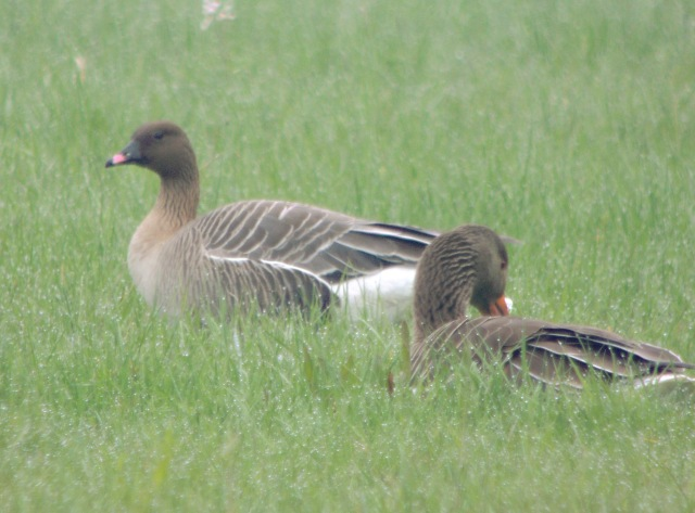 Pink-footed Goose, Thrapston GP, 21st April 2014 (Mike Alibone)