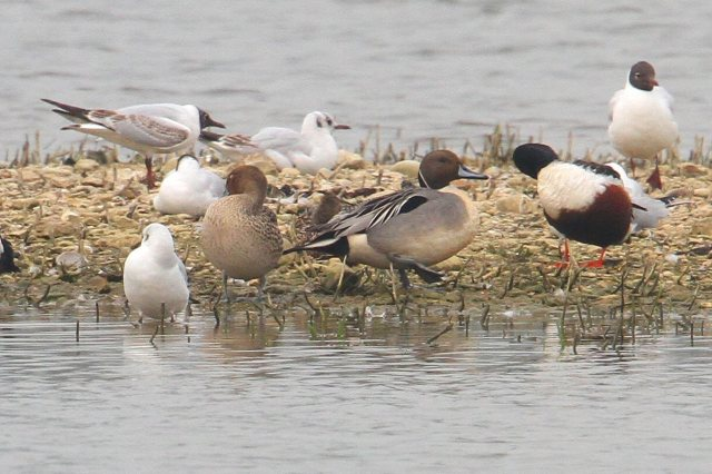 Pintails, Summer Leys LNR, 2nd April 2014 (Bob Bullock)