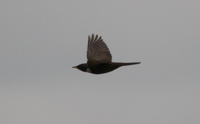 Ring Ouzel, Harrington AF, 22nd April 2014 (Alan Coles)