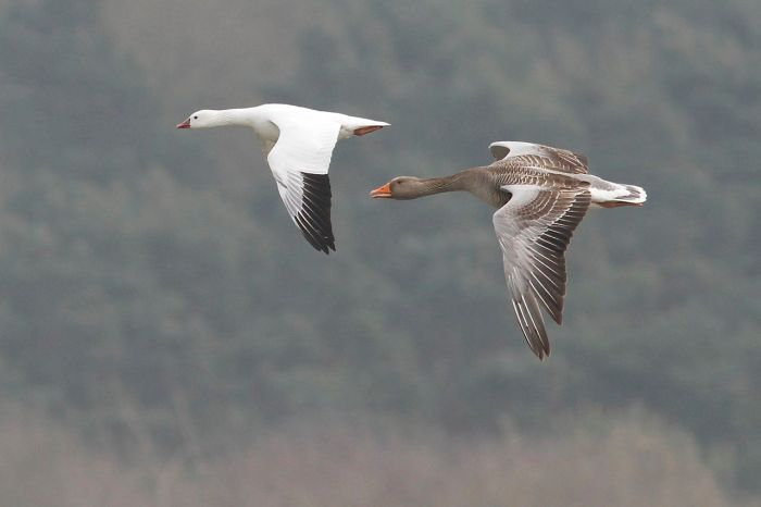 Ross's Goose, Pitsford Res, 28th March 2014 (Dave Jackson)