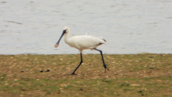 Spoonbill, Clifford Hill GP, 27th April 2014 (Mike Alibone)