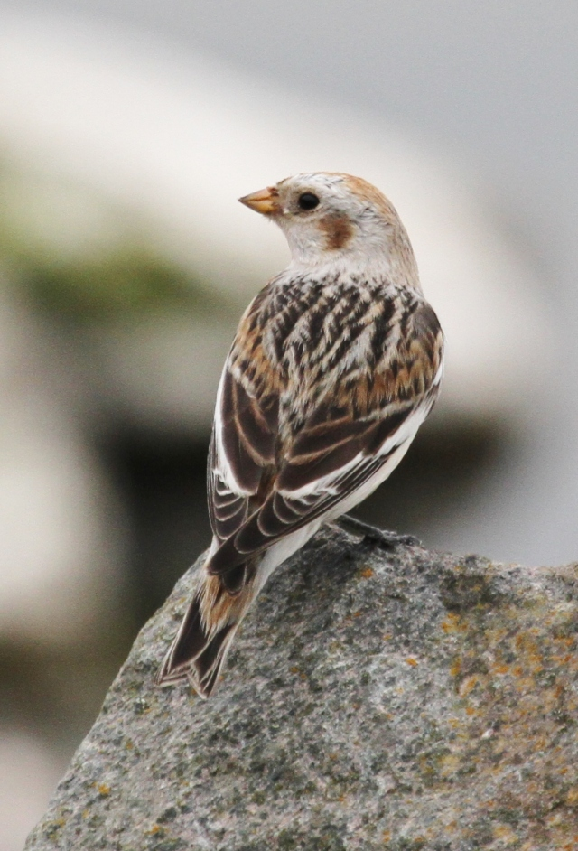 Snow Bunting, Daventry CP, 3rd April 2014 (Alan Coles)