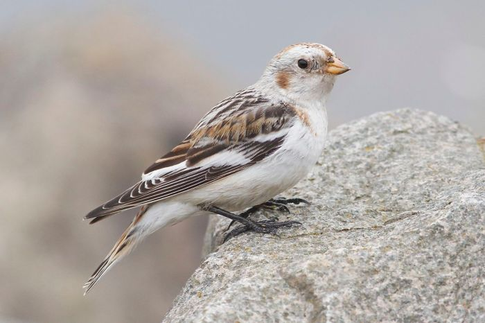 Snow Bunting, Daventry CP, 3rd April 2014 (Dave Jackson)