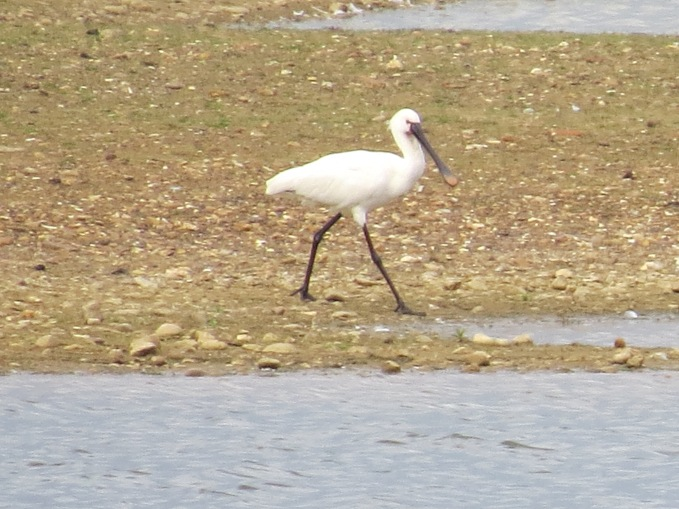 Spoonbill, Clifford Hill GP, 27th April 2014 (Simon Hales)