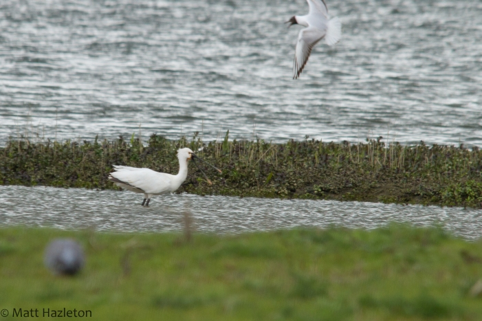 Spoonbill, Summer Leys LNR, 27th April 2014 (Matt Hazleton)