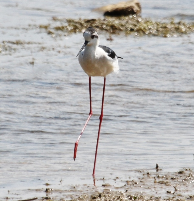 Black-winged Stilt, Summer Leys LNR, 18th May 2014 (Alan Coles)