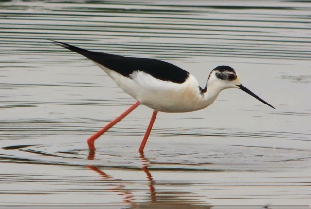 Black-winged Stilt, Summer Leys LNR, 18th May 2014 (Mike Alibone)