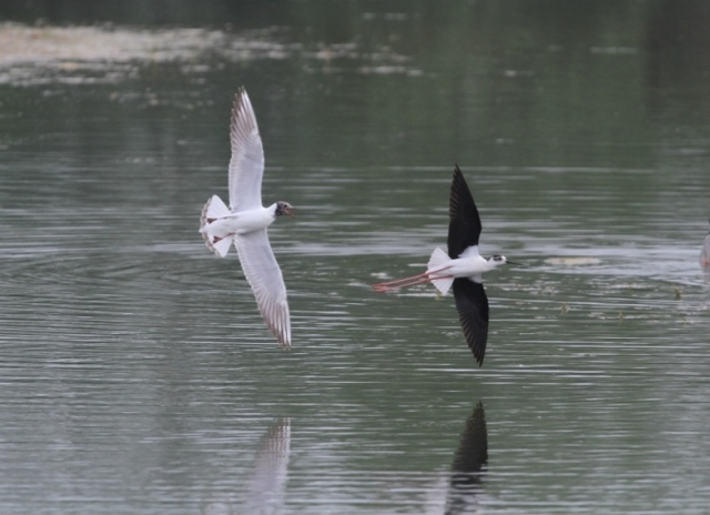 Black-winged Stilt, Summer Leys LNR, 18th May 2014 (Nigel Muddiman)