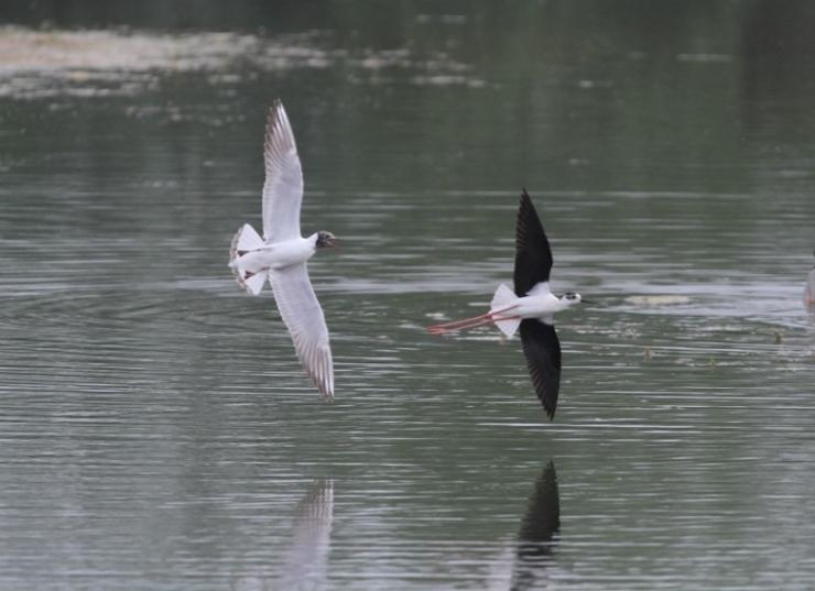 Black-winged Stilt, Summer Leys LNR, 18th May 2014 (Nigel Muddiman)