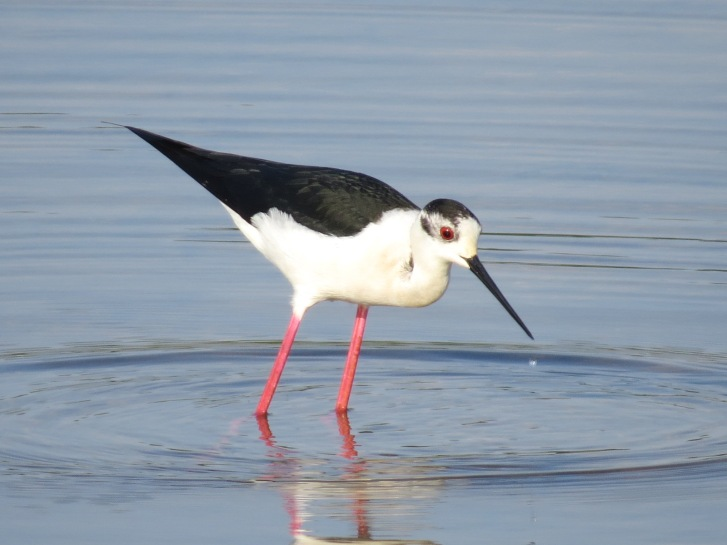 Black-winged Stilt, Summer Leys LNR, 18th May 2014 (Simon Hales)