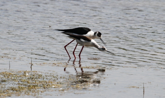 Black-winged Stilts, Summer Leys LNR, 18th May 2014 (Alan Coles)