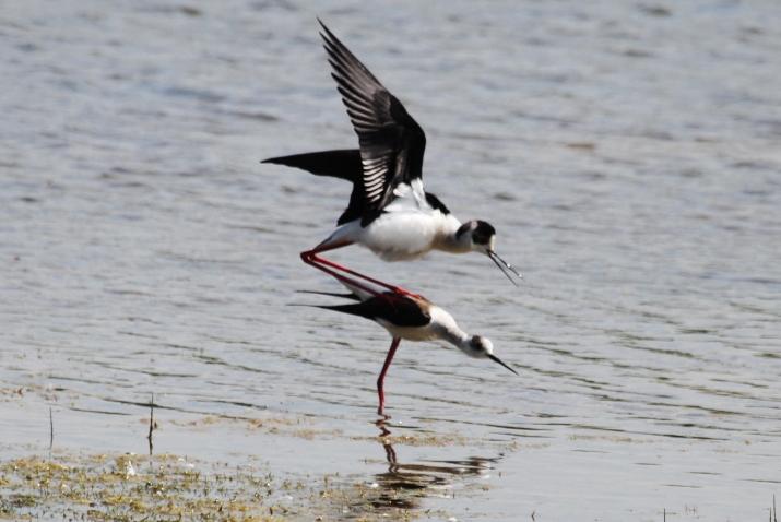 Black-winged Stilts, Summer Leys LNR, 18th May 2014 (Alan Coles)