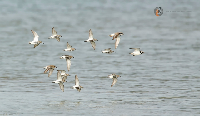 Dunlins and Ringed Plovers, Summer Leys LNR, 10th May 2014 (Simon Wantling)