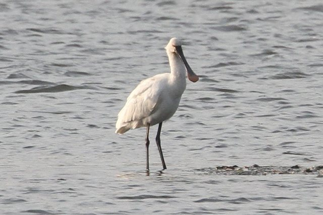 First-summer Spoonbill, Summer Leys LNR, 19th May 2014 (Bob Bullock)