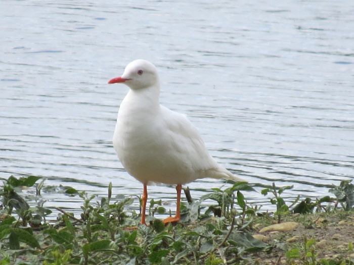 Leucistic Black-headed Gull, Summer Leys LNR, 25th May 2014 (Simon Hales). Note obvious pale iris.