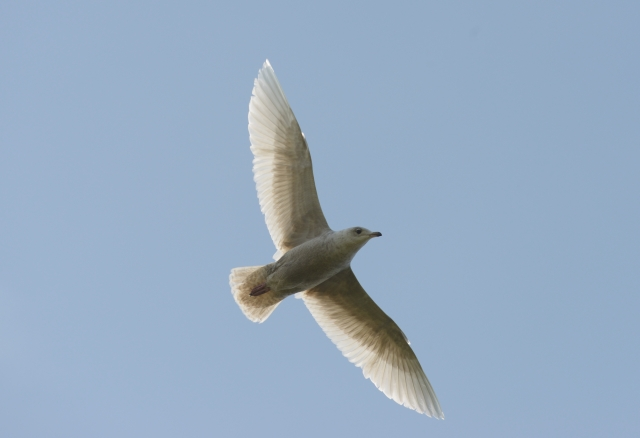 Second calendar year Iceland Gull, Daventry CP, 5th May 2014 (Allan Maybury)