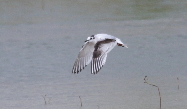 Second calendar year Little Gull, Summer Leys LNR, 27th April 2014 (Alan Coles)