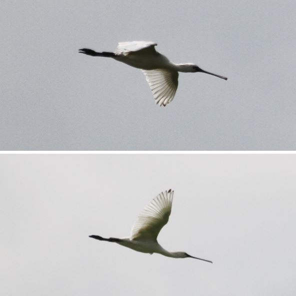Second-summer Spoonbill, Summer Leys LNR, 29th May 2014 (Alan Coles). Black tips to primaries restricted to P9 and P10.