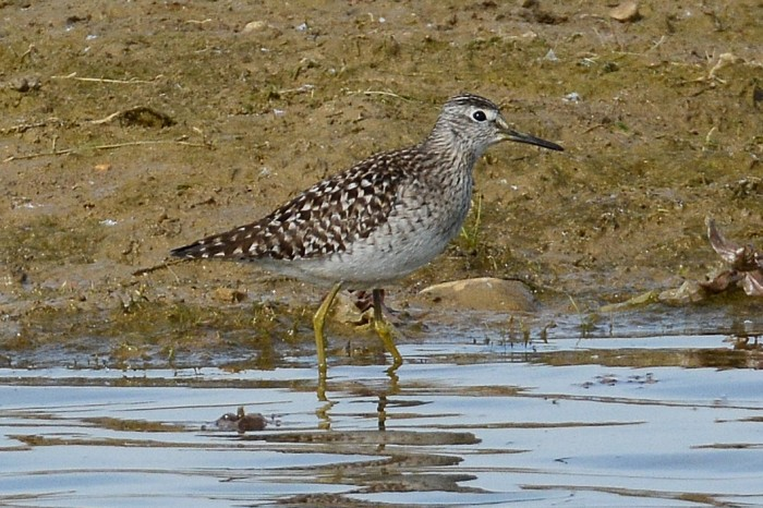 Wood Sandpiper, Summer Leys LNR, 5th May 2014 (John Moon)