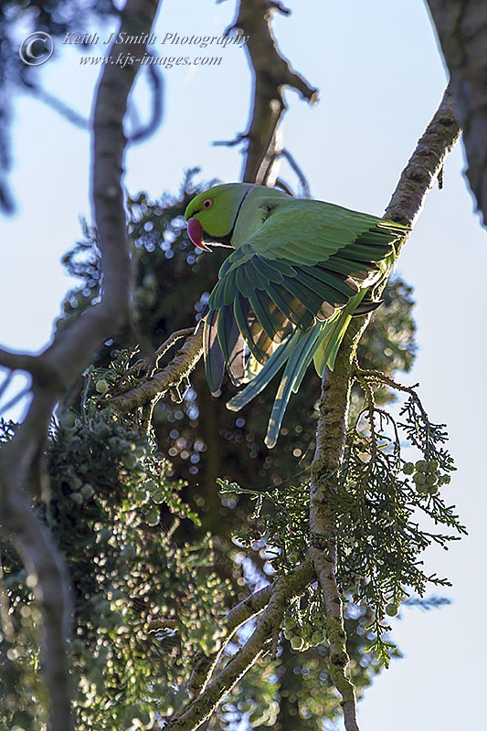 Male Ring-necked Parakeet, Abington Park, Northampton, 21st June 2014 (Keith J Smith)