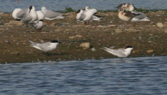 Sandwich Terns, Stanwick GP, 26th June 2014 (Steve Fisher)